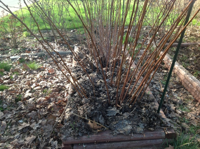 Bed all ready for spring.  Old canes all trimmed and leaf mulch added.
