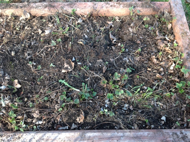All weeded and ready to add compost to.  Several plants are starting to send up shoots.