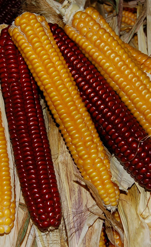 Red and yellow ears of Abenaki corn. The 3rd color is an in between of the two