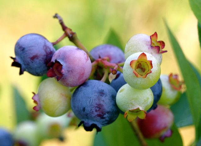 Jam, jelly, pies, tarts, and so on.  The uses for blueberries seem endless.