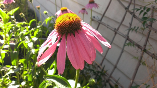 One of Staci's purple coneflowers