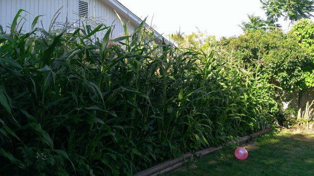 My freakshly big corn.  Some are almost 12 feet tall.  Last year they were maybe 8 feet tall at the most.