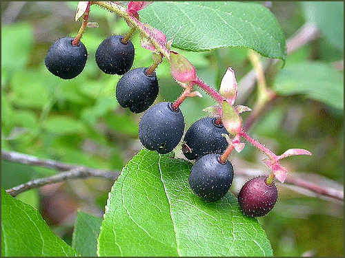 The berries grow in rows along a main stem.