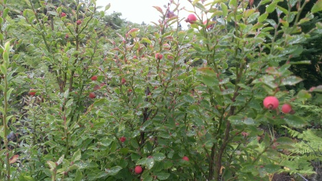 fairly large bush with quite a few berries on it