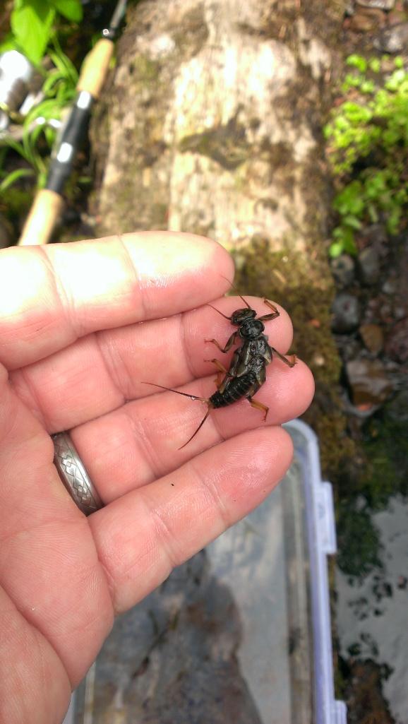 Large stonefly larva