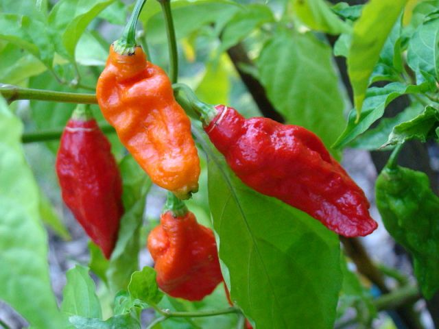 Ghost peppers are grown in Inda.  They are a hybrid variety of pepper.